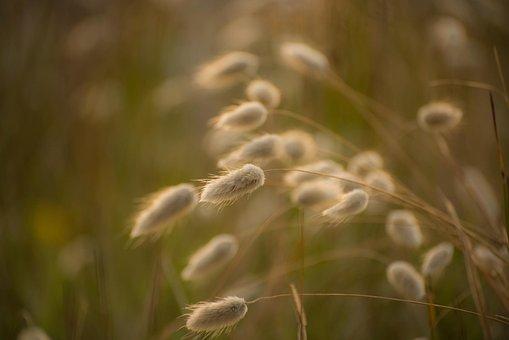 Grass, Rabbit Tail Grass, Backlit, Sunrise, Fluffy