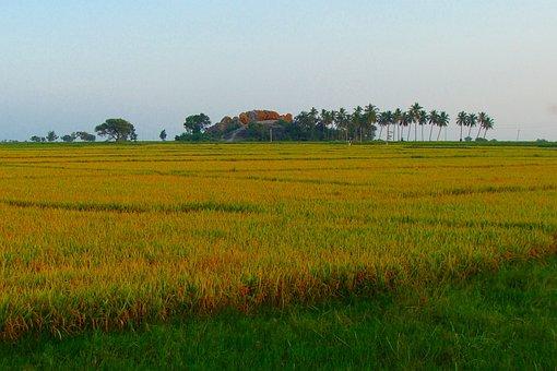Rice Fields, Ripe Rice, Golden, Harvest-ready