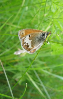 Ringlet, Butterfly, Summer, Insect, Sweden, Nature