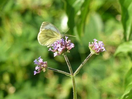 Butterfly, White Butterfly, Insect, Nature, Butterflies