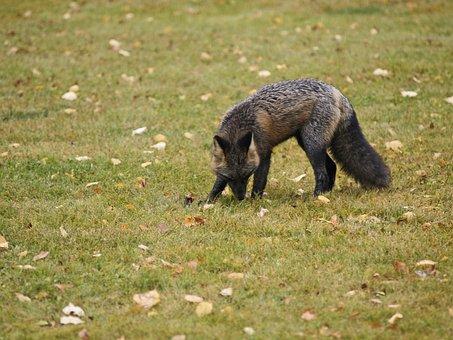 Fox, Animal, Mammal, Hungry, Wild Life