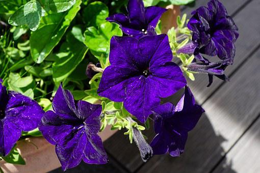 Flowers, Violet, Velvet