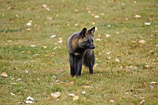 Fox, Animal, Wild Life, Wild, Wild Life Predator
