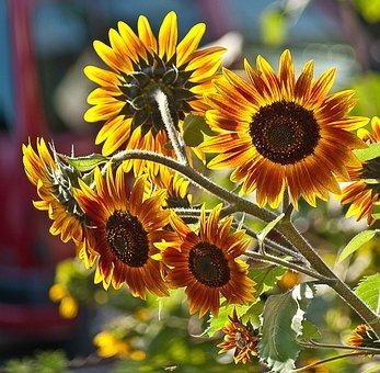 Sunflowers, A Few Flowers, Plant, Flowers, Plants