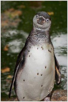 Penguin, Curious, Bird, Water Bird, Penguin Pool, Water