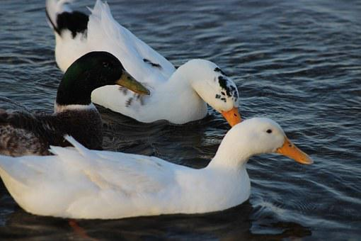 Burhaniye, Iskele, Ducks