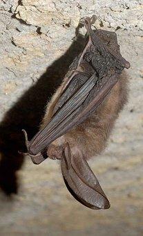Townsendii, Corynorhinus, Bat, Eared, Big, Virginia