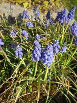 Garteblume, Muscari, Blue, Flower Plant, Blossom, Bloom