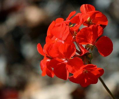 Geranium, Pelargonium, Floral, Plant, Natural, Blossom
