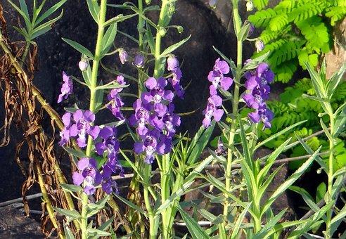 Narrowleaf Angelonia, Summer Snapdragon, Angel Flower