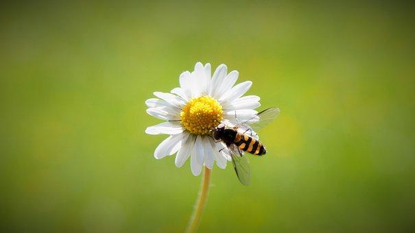 Daisy, Spring, Harbinger Of Spring, Close, Flower