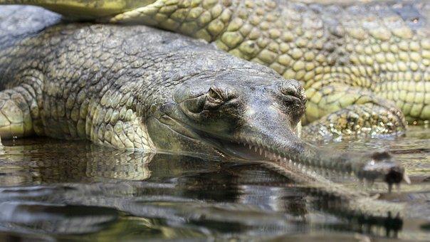 Gavial, Gharial, Alligator, Animal, Close-up, Crocodile