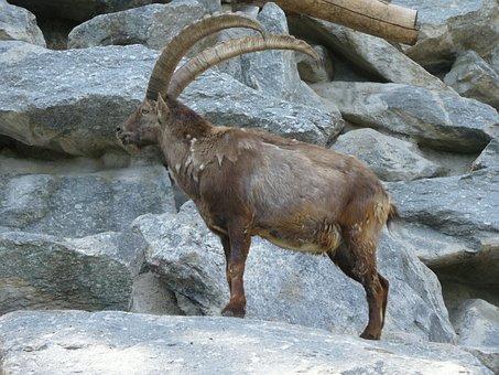 Capricorn, Alpine Zoo, Innsbruck