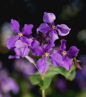Cress, Orychophragmus Violaceus, Flower, Blossom, Bloom