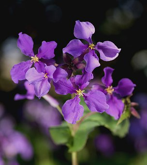 Cress, Orychophragmus Violaceus, Flower, Blossom, Bloom