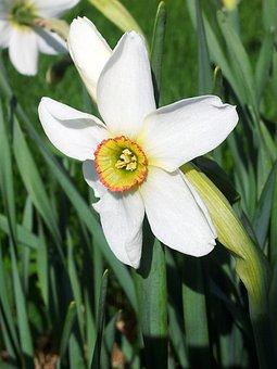 Narcissus Recurvus, Spring, Flower, White, Poeticus