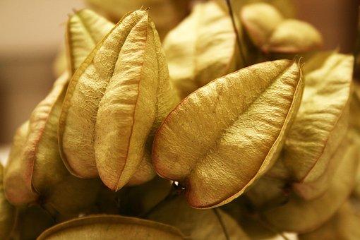 Koelreuteria Paniculata, Crop, Wood, Tree Fruit
