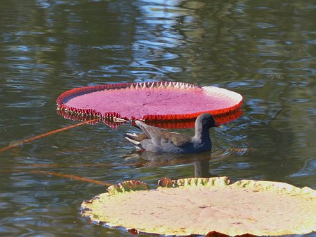 Water Hen, Water Fowl, Water Lily, Aquatic Plants