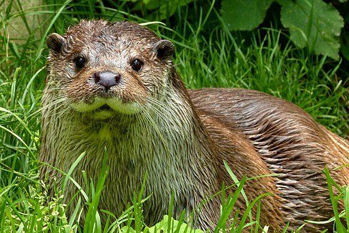 Otter, Lutra, Animal, Zoo, Wet, Curious