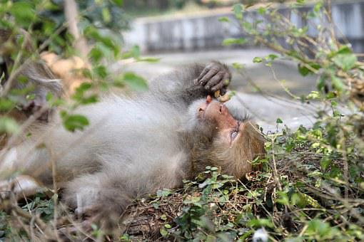 Indian Monkey, Macaque, Indian, Mammal, Primate, Monkey