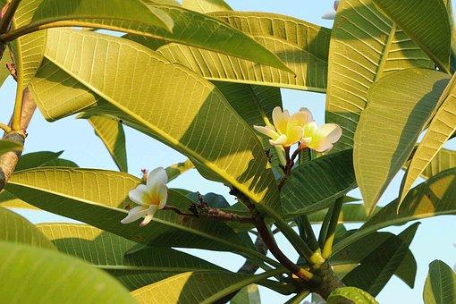 Flowers, Frangipani Flowers, White, Autumn Leaves