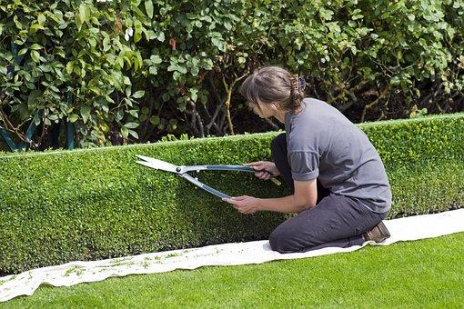 Box Hedge Topiary, Shears, Gardener, Trimming