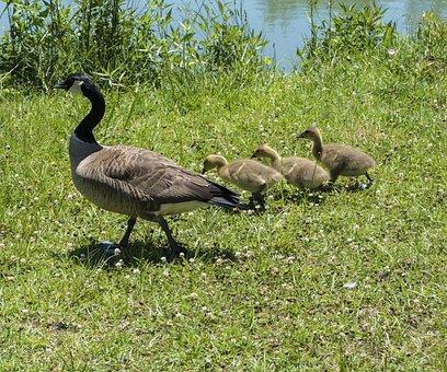 Mama Duck, Baby Ducklings, Canadian Geese, Goslings