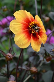 Bee, Pollen, Dahlia, Orange, Red, Flower, Honey, Nature