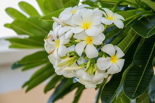 Flowers, Frangipani Flowers, Frangipani, White Flowers