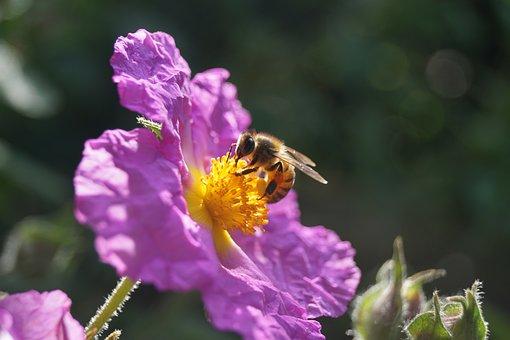 Honeybee, Flower, Nectar, Pollen, Pollination