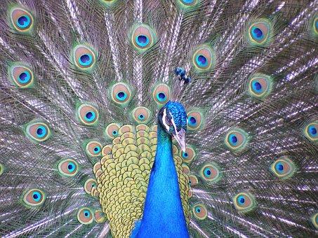 Peacock, Bird, Wingtip Toys, Blue, Feather