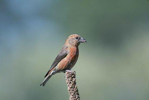 Curvirostra, Loxia, Bird, Crossbill, Red, Birds