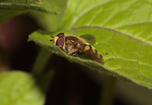 Hoverfly, Insect, Wing, Compound