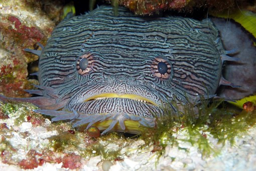 Toadfish, Splendid, Fishes, Animals, Fauna