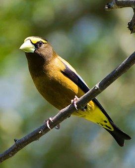 Vespertinus, Coccothraustes, Bird, Evening, Grosbeak