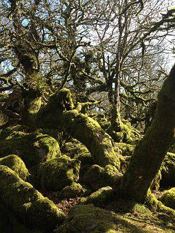 Wistman Woods, Old Oaks, Spooky, Magical Woods, Lichen
