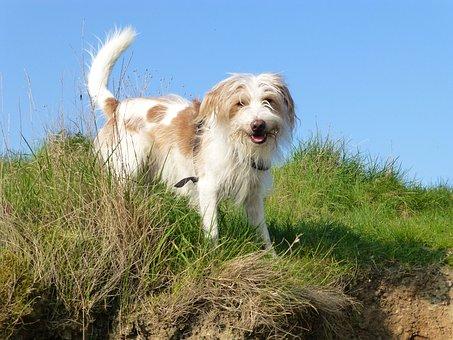 Dog, Kromfohrlander, Animal, Friend
