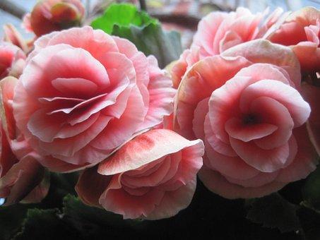 Begonia, Flowers, Blooms, Pink, Waxlike, Delicate