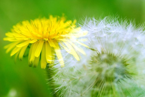 Dandelion, Dandelion Fluff, Fluff Before And Now