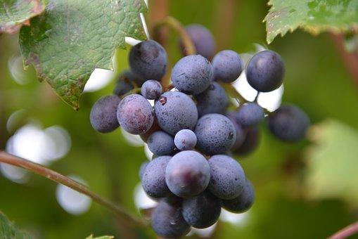 Wine, Vit, Screws, Vineyards, Grapery, Grapes, Vineyard