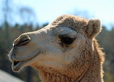 Camel, Head, Lips, Close Up, Animal, Desert, Mammal
