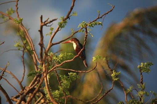 Kingfisher, White Throated Kingfisher, Halcyon