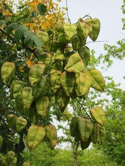 Koelreuteria Paniculata, Goldenrain Tree, China Tree