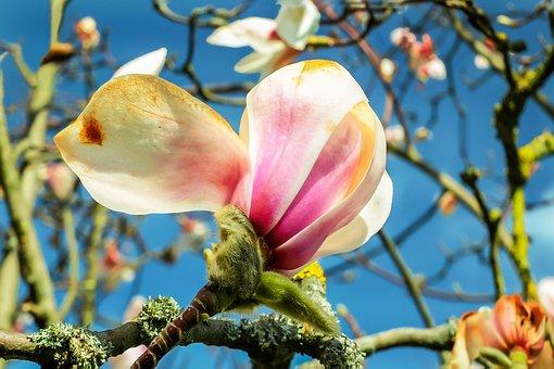 Magnolia, Blossom, Bloom, Frühlingsblüher, Pink, Nature