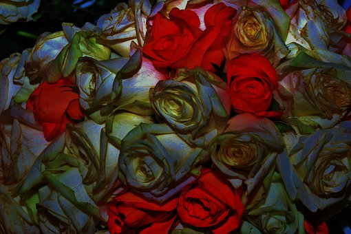 Rose, Flower, Plant, Bloom, Nature, Blossom, Petal