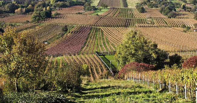 Wine, Wine Harvest, New Wine, Vintage, Vineyards