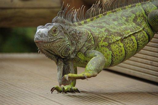 Iguana, Mariposario De Benalmadena, Animal, Reptile