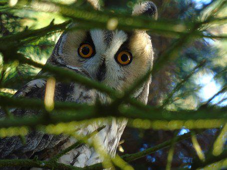 Owl, Long Eared Owl, Forest, Bird, Night Active, Nature