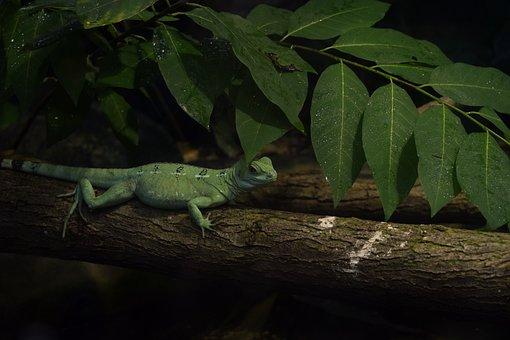 Lizard, Jungle, Green, Tropical, Rainforest, Reptile