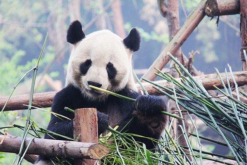 Black And White, Adorable, National Animal, Panda